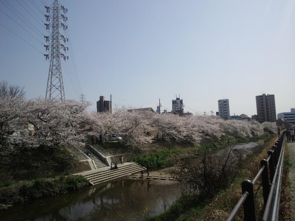 満開の山崎川